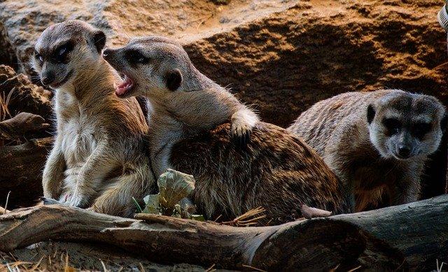 tři surikaty
