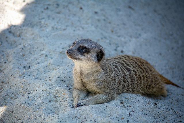 ležící surikata