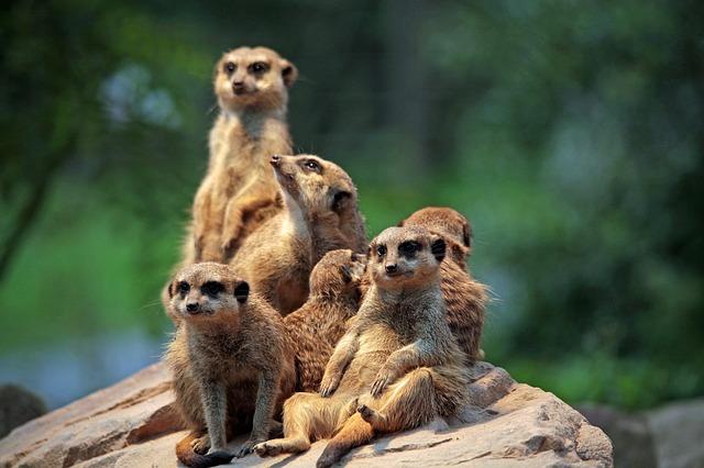 skupina surikat
