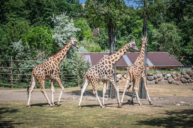 žirafy ve výběhu